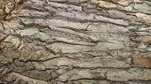 Natural Background Of Old Tree Bark. The Texture Of The Bark Of Willows. The Texture Of The Tree Bar poster
