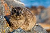 Hyrax Lying On A Rock