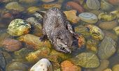 Asian Short Clawed Otter, Playing In Enclosure poster