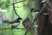 pied fantail with family