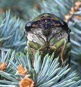 Adorable Cicada