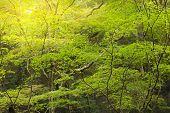 image of minos  - sunbeam in maple forest - JPG