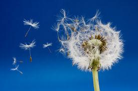 picture of dandelion seed  - Dandelion seeds being blown in the wind - JPG
