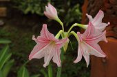 stock photo of belladonna  - Pink flowers in a single bouquet Amaryllidaceae4 - JPG