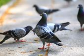 stock photo of pigeon  - Hungry pigeons eating bread in the city street - JPG