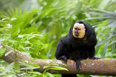 Albifacies Saki Monkey