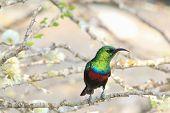 Marico Sunbird - Wild Bird Background from Africa - Green Shine of Emerald Plumage