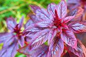 Red Amaranth Closeup