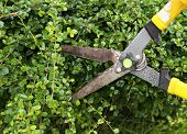Trimming Bushes With Scissors