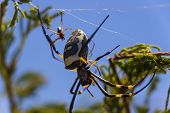 image of baby spider  - Golden Orb Weaver Spider in it - JPG