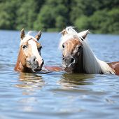 Blond Haflingers Swimming And Looking At You