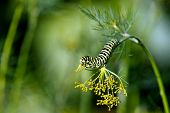 Caterpillar Of The Old World Swallowtail (papilio Machaon)