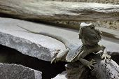 picture of fanny  - Photo of Colourful Lizard in the Wood - JPG