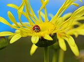beatle sitting on yellow flower