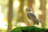 stock photo of hawks  - Barn owl standing on the moss in the bright wood - JPG