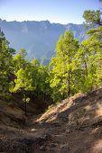 Canary Woodland