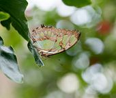 stock photo of malachite  - Malachite Butterfly showing green and brown patterned underwing - JPG