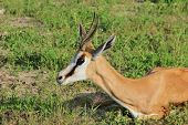 Springbok - Wildlife Background from Africa - Tranquil Rest