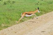 Wildlife Background - Springbok - Action and Speed