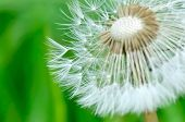 Close On Dandelion