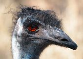 Emu Closeup Face