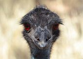 image of ostrich plumage  - Emu is the Largest bird native to Australia and most common over most of mainland Australia - JPG