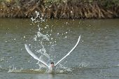 Caspian Tern Taking To The Air After A Dive In The Mangroves