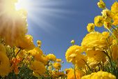 Picturesque field of beautiful yellow buttercups ranunculus. The spring sun shines brightly gorgeous flowers