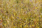 Eriocaulon Smitinandii Mold.flower (eriocaulaceae) Among Yellow  Grass