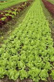 ?ows Of Fresh Lettuce Plants