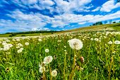 Blow-balls, Dandelions In Meadow With Blue Sky And White Clouds Visible.