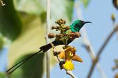 Male Beautiful Sunbird Perched Behind Flowers