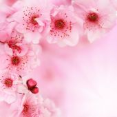 image of cherry blossom  - Fresh pink soft spring cherry tree blossoms on pink background - JPG