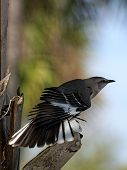 Northern Mockingbird Displaying Wing