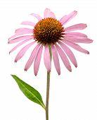 Pink Echinacea Purpurea Flower
