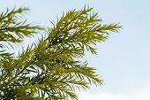 Pine Leaf White Sky