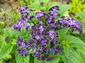 image of heliotrope  - Heliotrope flower in the garden in summer - JPG