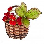 Wild Forestry  Stone Bramble berry (Rubus saxatilis)  in wicker basket close up isolated on white ba