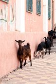 goats on the stairs