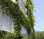 Wall with Ivy.