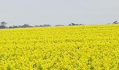 Canola Plants.