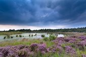 Clouded Sky Over Swamp And Flowering Heather