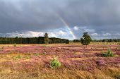 Rainbow Over Meadow With Flowering Heather