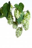 Bunch of hops isolated on white background. All in focus.