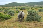 Solitary Black Rhino