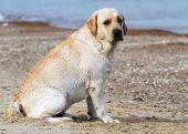 Labrador At The Seal Portrait