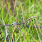 pic of stick-bugs  - Big green dragonfly waiting on a stick for an insect meal - JPG