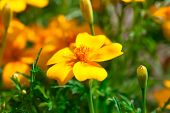Tagetes Is Perennial, Mostly Herbaceous Plants In The Sunflower Family (asteraceae Or Compositae).