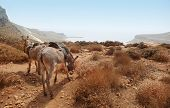 Donkeys In The Mountain. Balos Beach. Crete
