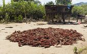 foto of sorghum  - Harvested sorghum crop is dying on the ground - JPG